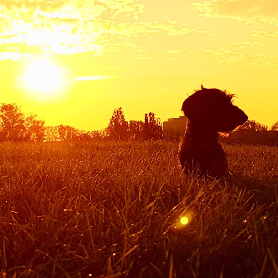 Dackel Sonnenuntergang Rauhaardackel