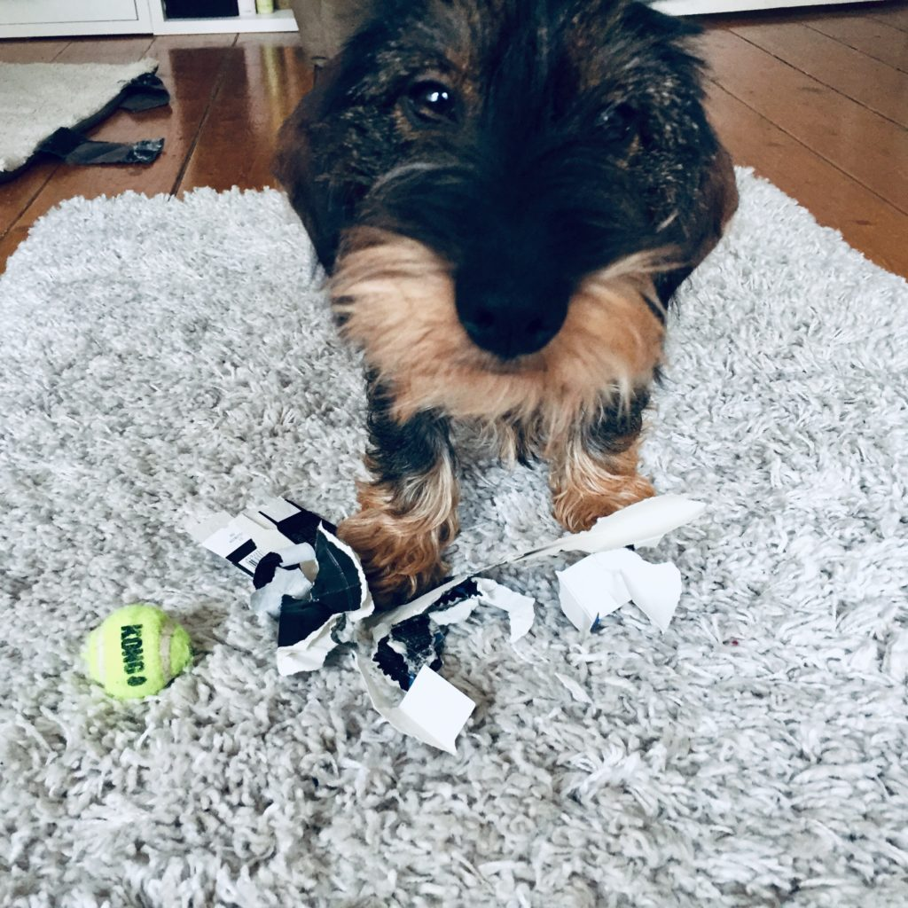 Hummel Dackel Rauhaardackel Hund